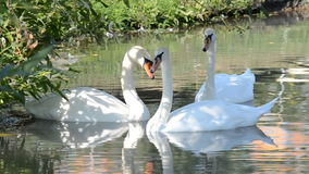 White swans on the water. White swans floating on the lake stock footage