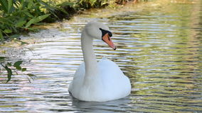 White swans on the water. White swans floating on the lake stock video footage