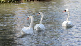 White swans on the water. White swans floating on the lake stock video