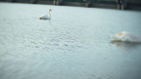 White swans on the water. 4k stock footage