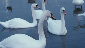 White swans on the water stock footage