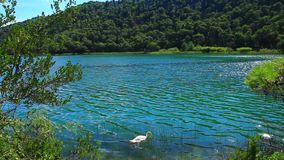 White swans on the water. Panoramic shot of waterfall on Krka river-Croatia stock video footage