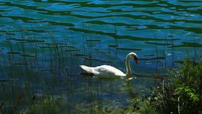 White swans on the water. Panoramic shot of waterfall on Krka river-Croatia stock footage