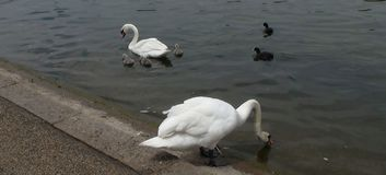 White swans in the water. A picture of a white swan drinking water in the river,and another white swan and two small birds in the river ,in a river park in Royalty Free Stock Photography