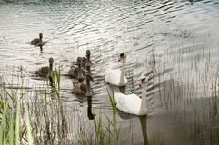 Free White Swans With A Flock Of Small Swans On A Forest Lake Royalty Free Stock Photography - 161173167