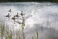 Free White Swans With A Flock Of Small Swans On A Forest Lake Stock Photos - 161173173