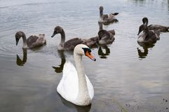 Free White Swans With Small Swans On The Lake Royalty Free Stock Images - 161173249