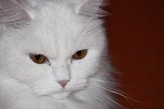White sweet cat at home Royalty Free Stock Photos