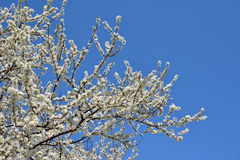White sweet cherry Blossom Tree Stock Photography