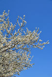 White sweet cherry Blossom Tree Royalty Free Stock Image