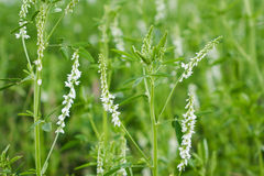 White Sweet Clover Royalty Free Stock Photo