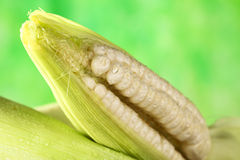 White Sweet Corn Cob Royalty Free Stock Photo