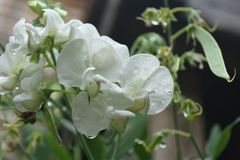 White Sweet Pea Flowers with Dew Drops on the Petals royalty free stock images