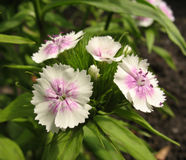 White sweet william Royalty Free Stock Photo