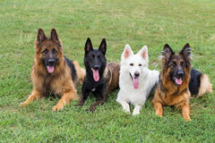 White Swiss and German Shepherds Stock Photography