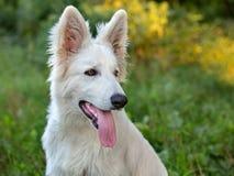 White Swiss Sheepdog Stock Photos