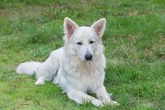 White Swiss Sheepdog Stock Photo