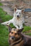 White Swiss Sheepdog Royalty Free Stock Image