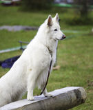 White Swiss Sheepdog Stock Image