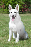 White Swiss Shepherd Stock Photography