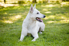 White Swiss Shepherd Royalty Free Stock Images