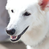 White Swiss Shepherd Royalty Free Stock Photo