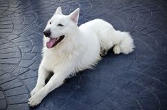 White swiss shepherd Royalty Free Stock Photos