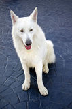 White swiss shepherd. Standing on a textured concrete ground Royalty Free Stock Photography