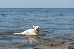 White swiss shepherd brings back a cane out of the water Royalty Free Stock Photography