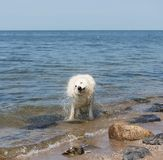White swiss shepherd coming out of the water Stock Photography