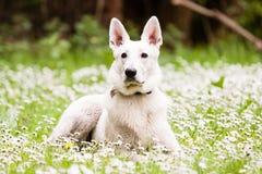 White Swiss Shepherd Stock Photography