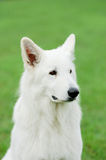 White Swiss Shepherd Dog Royalty Free Stock Images