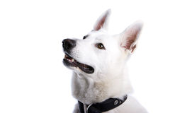 White Swiss Shepherd Dog Royalty Free Stock Photography