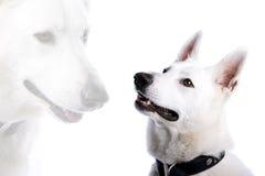 White Swiss Shepherd dog Royalty Free Stock Photo