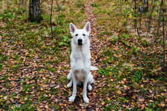 White Swiss shepherd dog Stock Images