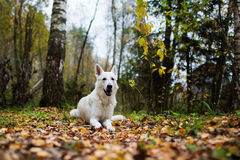 White Swiss shepherd dog Stock Image
