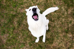 White Swiss shepherd dog barking Royalty Free Stock Photography