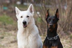 White Swiss shepherd dog Stock Photography