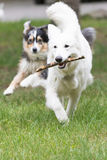 White Swiss Shepherd dog is fetching Stock Image