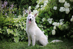 White Swiss Shepherd dog in the garden royalty free stock photography