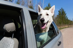White Swiss shepherd dog Stock Photography