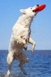 White Swiss Shepherd Dog Royalty Free Stock Images