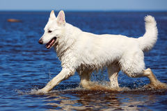 White Swiss Shepherd Dog Stock Photo