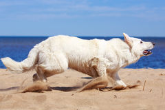 White Swiss Shepherd Dog Royalty Free Stock Photo