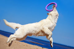 White Swiss Shepherd Dog Royalty Free Stock Photos