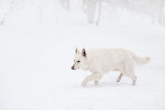 White swiss shepherd dog outside in winter snow. royalty free stock photos