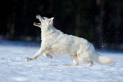 White Swiss shepherd dog running in winter background Royalty Free Stock Images