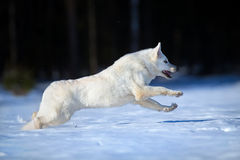 White Swiss shepherd dog runs in winter. Stock Photos