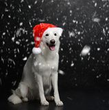 White Swiss Shepherd dog sitting under heavy snow Royalty Free Stock Photo