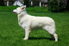 White swiss shepherd dog. Stand on green grass stock images